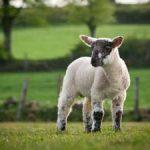 Британских овец подключат к Wi-Fi
