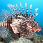 Опасные рыбы Красного моря